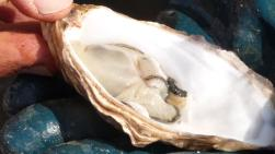oyster7